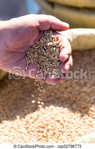 wheat in hand - csp52796773