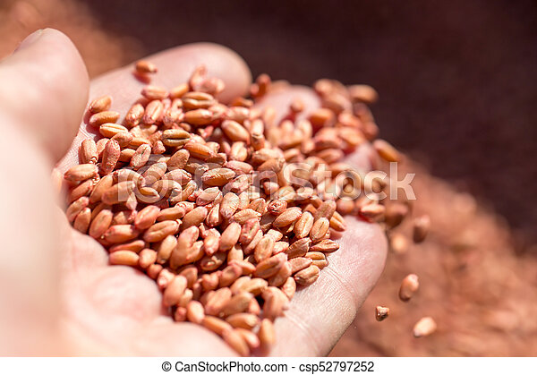 wheat in hand - csp52797252
