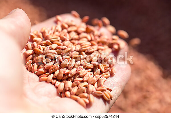 wheat in hand - csp52574244