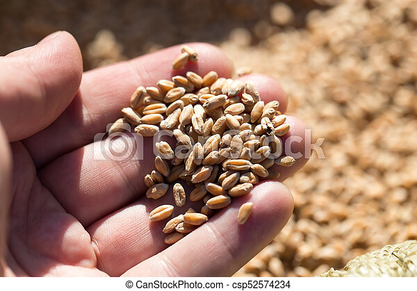 wheat in hand - csp52574234