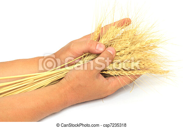 wheat in the hands of - csp7235318
