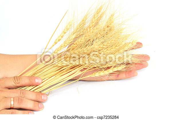 wheat in the hands of - csp7235284
