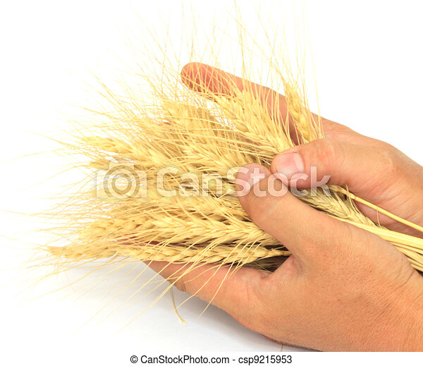 wheat in the hands of - csp9215953