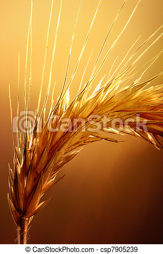 Wheat macro - csp7905239