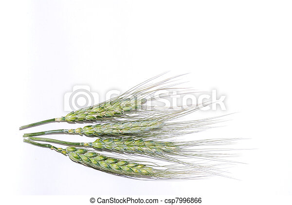 wheat on white background - csp7996866