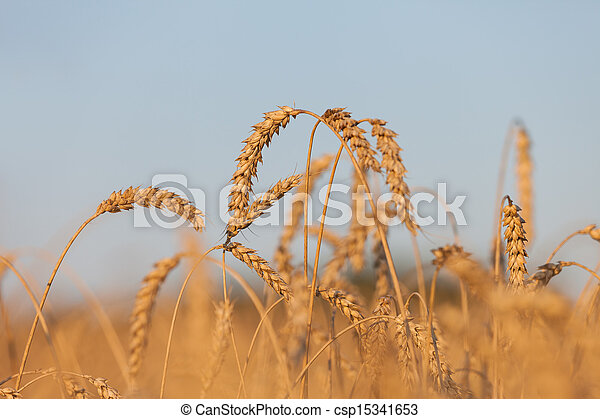 Wheat or rye agriculture field plant - csp15341653
