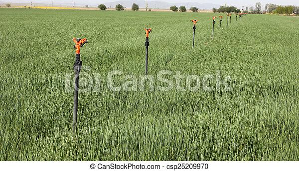wheat - csp25209970