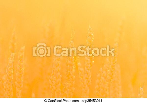 wheat - csp35453011