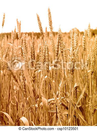 wheat plant close up