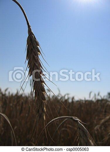 Wheat Spike I - csp0005063