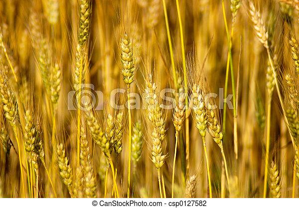 Wheat Stalks - csp0127582