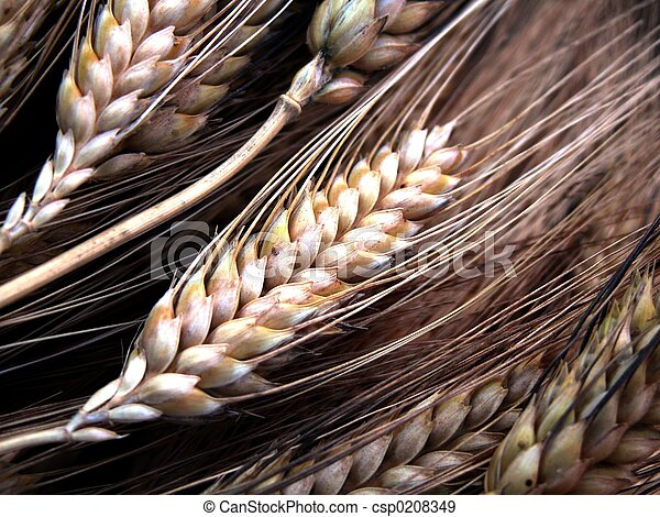 wheat - csp0208349