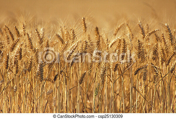 Wheat - csp25130309