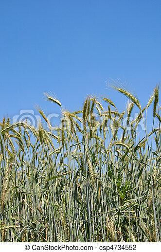 wheatfield - csp4734552