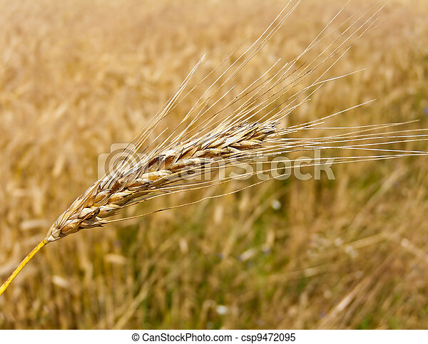 wheatfield with barley spike - csp9472095