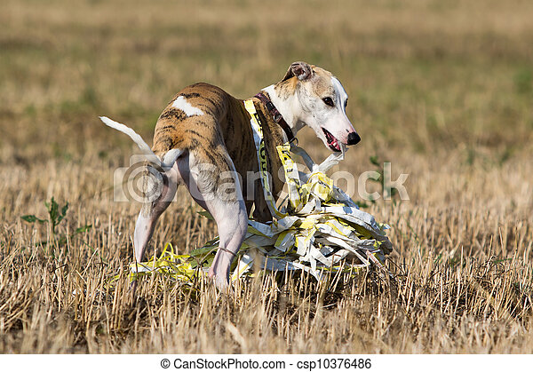 Whippet dog in field - csp10376486