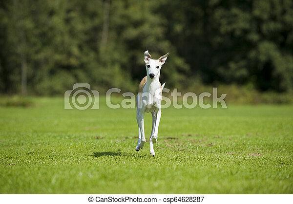 Whippet dog - csp64628287
