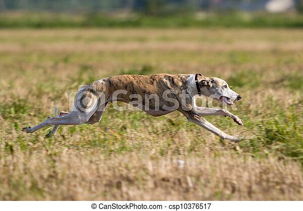 Whippet dog run in field - csp10376517