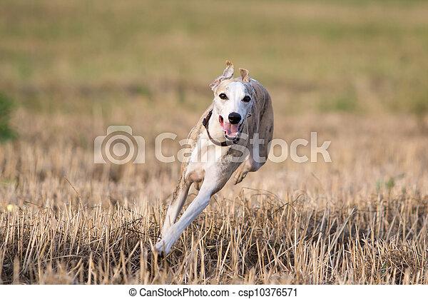 Whippet dog run in field - csp10376571