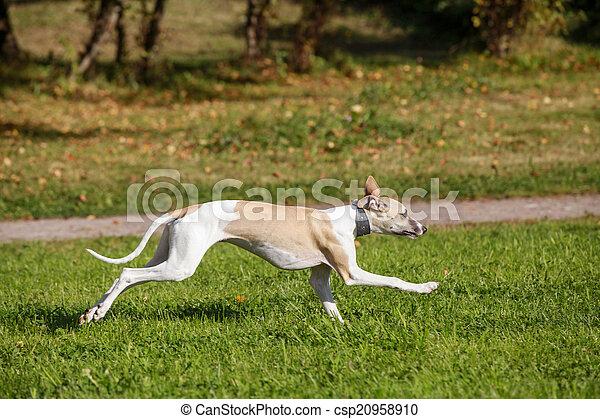 Whippet dog run in field - csp20958910