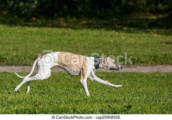 Whippet dog run in field - csp20958056