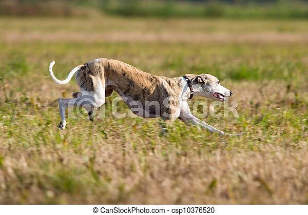 Whippet dog run in field - csp10376520