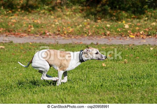 Whippet dog run in field - csp20958991