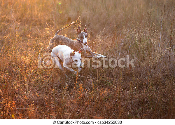 whippet dog - csp34252030