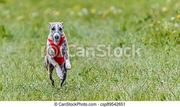 Whippet in red shirt running in the field on lure coursing competition - csp89542651