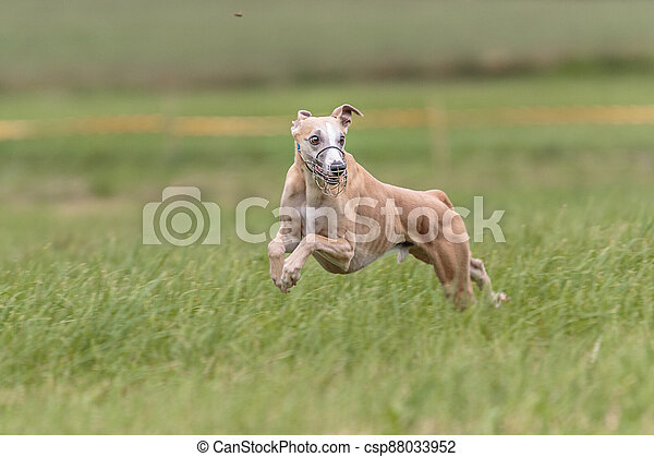 Whippet running in the field on lure coursing competition - csp88033952