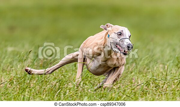 Whippet running in the field on lure coursing competition - csp89347006