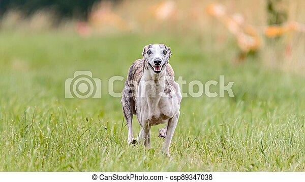Whippet running in the field on lure coursing competition - csp89347038