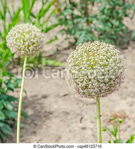 White allium flowers ball flower genus of monocotyledonous green white allium flowers ball flower genus of monocotyledonous green garden csp46123716 mightylinksfo