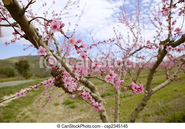 White almond tree flowers pink almond tree flowers on early white almond tree flowers csp2345145 mightylinksfo