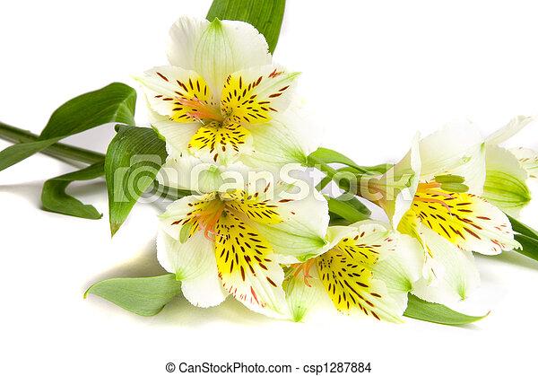 White alstroemeria flower on white ground white alstroemeria flower csp1287884 mightylinksfo