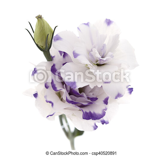 White and blue lisianthus flower isolated on white background white and blue lisianthus flower isolated on white csp40520891 altavistaventures Choice Image
