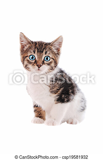 white and brown tabby cat with blue eyes a brown and white tabby