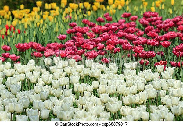 White and maroon tulips - csp68879817