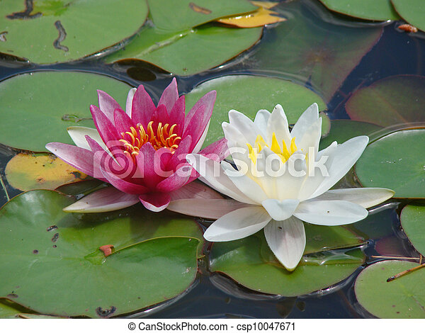 White and Pink water lilies - csp10047671