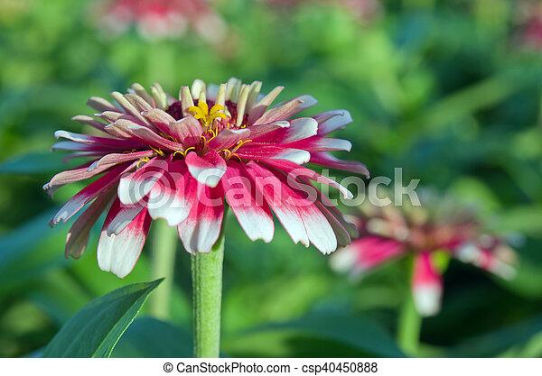 White And Red Hybrid Aster Flower In Bangkok Thailand Aster Flower