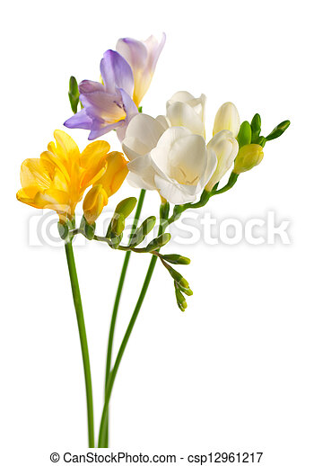 White and yellow and purple freesia flowers white and yellow and purple freesia flowers csp12961217 mightylinksfo
