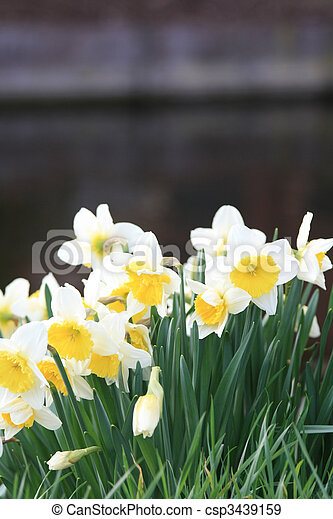 white and yellow daffodils on the waterside. a grouo of
