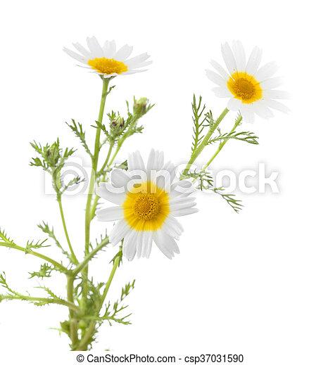 white and yellow garland chrysanthemum - csp37031590