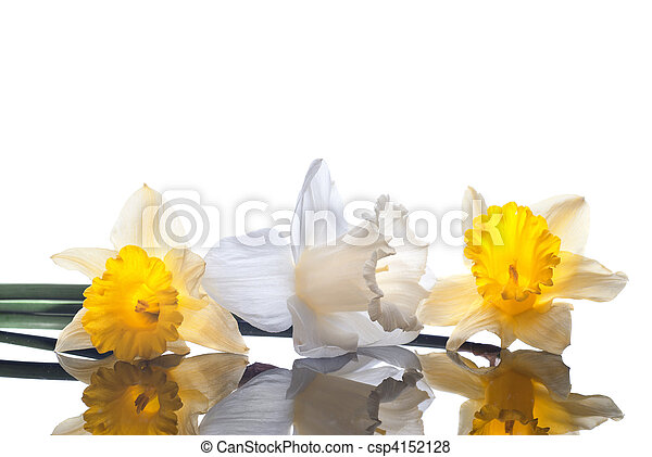 white and yellow narcissus isolated on white background - csp4152128