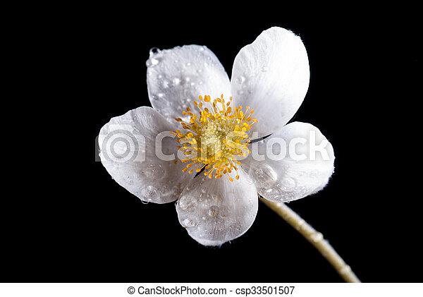 White anemone flower isolated on black space mightylinksfo