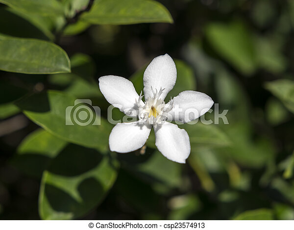 White angel flower wrightia antidysenterica is a flowering plant in white angel flower csp23574913 mightylinksfo