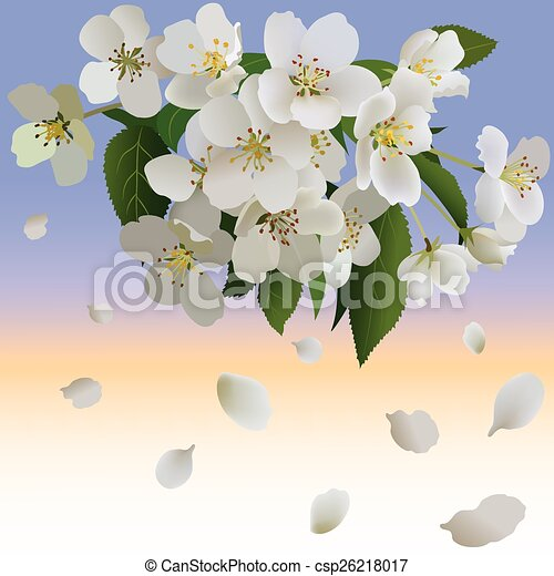 White apple flowers with leaves and bud. Branch of blossoming apple tree and petal - csp26218017