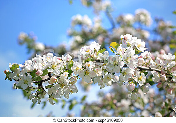 White Apple Tree Flowers Against Blue Sky - csp46169050