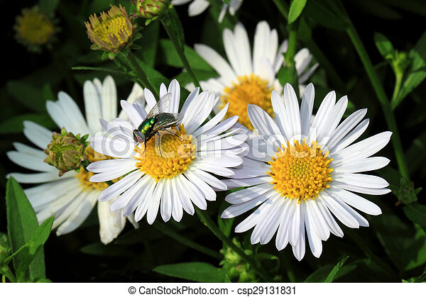 White Aster Flowers With A Fly White Aster Flower With Long