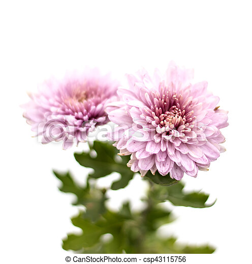 White asters flowers on a background of green garden pink asters white asters flowers on a background of green garden pink asters flowers on a background of mightylinksfo
